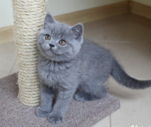 Photo №1. british shorthair - for sale in the city of Varna | 550$ | Announcement № 716