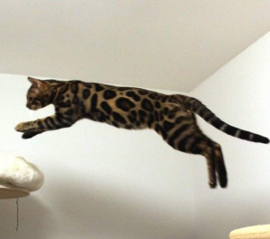 Photo №1. Mating service - breed: bengal cat. Price - 134$