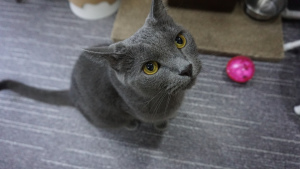 Photo №1. Mating service - breed: russian blue. Price - 100$