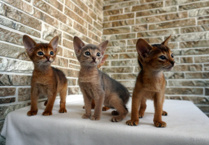 Photo №1. abyssinian cat - for sale in the city of Krakow | 2217$ | Announcement № 808