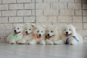 Photo №2 to announcement № 398 for the sale of samoyed dog - buy in Belarus from nursery, breeder