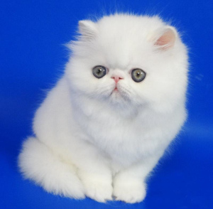 Photo №1. persian cat - for sale in the city of Mogilyov | 200$ | Announcement № 675