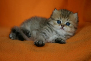 Photo №3. Persian kittens, Moscow. Russian Federation