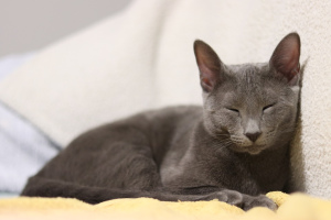 Photo №2. Mating service russian blue. Price - 100$