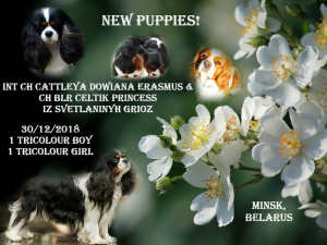 Photo №1. cavalier king charles spaniel - for sale in the city of Minsk | Negotiated | Announcement № 1271