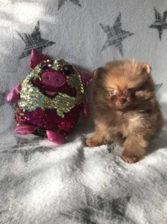 Photo №2 to announcement № 366 for the sale of pomeranian - buy in Poland private announcement, from the shelter, breeder