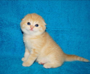 Photo №1. scottish fold - for sale in the city of Minsk | 170$ | Announcement № 1203