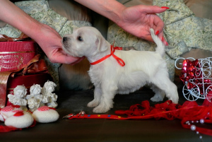 Photo №1. schnauzer - for sale in the city of Moscow | 470$ | Announcement № 2915
