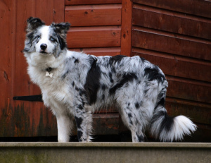 Photo №1. Mating service - breed: border collie. Price - 300$