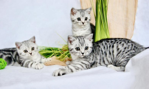 Photo №2 to announcement № 727 for the sale of british shorthair - buy in Germany