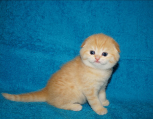 Photo №2 to announcement № 1203 for the sale of scottish fold - buy in Belarus private announcement