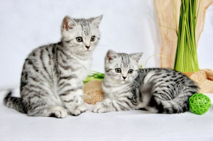 Photo №3. We have beautiful purebred British Shorthair kittens in the color. Germany