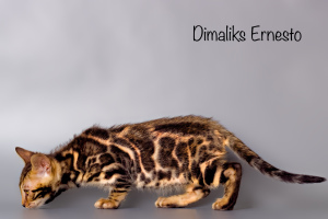 Photo №1. bengal cat - for sale in the city of Kazan | 2000$ | Announcement № 1452