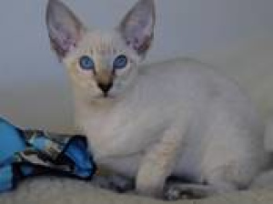 Photo №1. oriental shorthair - for sale in the city of Minsk | 170$ | Announcement № 722