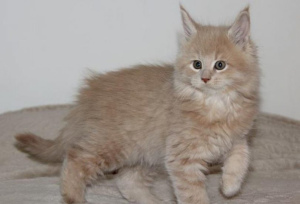 Photo №1. maine coon - for sale in the city of Iroh-Arbui | 1212$ | Announcement № 907