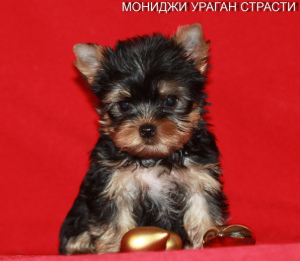 Photo №3. Mini Yorkshire Terrier Boys. Russian Federation