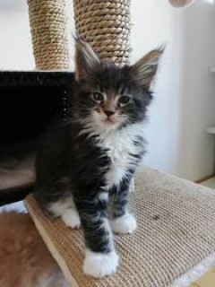 Photo №1. maine coon - for sale in the city of St. Petersburg | 700$ | Announcement № 393