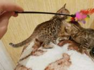 Photo №3. Purebred Bengal kittens for sale. 2 girls and 1 boy. Kittens were born. Latvia
