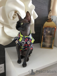 Photo №3. clothes for sphinx cats in Russian Federation
