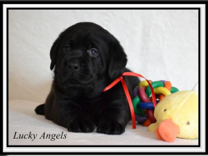 Photo №4. I will sell labrador retriever in the city of Gardelegen. private announcement, from nursery, breeder - price - 940$