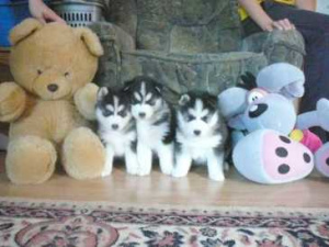 Photo №1. siberian husky - for sale in the city of Bern | Negotiated | Announcement № 880