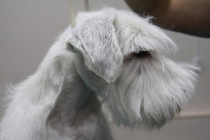 Photo №3. Promising puppy miniature schnauzer (boy) white color is for sale.. Russian Federation