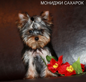 Photo №2 to announcement № 1421 for the sale of yorkshire terrier - buy in Russian Federation breeder