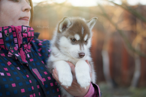 Photo №1. siberian husky - for sale in the city of Kronstadt | 390$ | Announcement № 4096