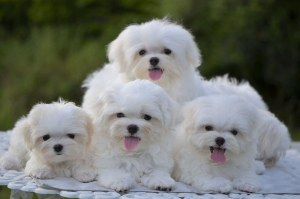 Photo №1. bichon frise - for sale in the city of Poti | 2227$ | Announcement № 498