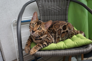 Photo №1. bengal cat - for sale in the city of Nuremberg | 782$ | Announcement № 3337