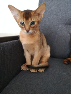 Photo №2 to announcement № 817 for the sale of abyssinian cat - buy in Belarus