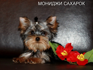 Photo №1. yorkshire terrier - for sale in the city of Yekaterinburg | 500$ | Announcement № 1421