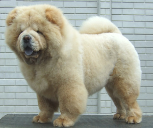 Photo №1. Mating service - breed: chow chow. Price - 150$