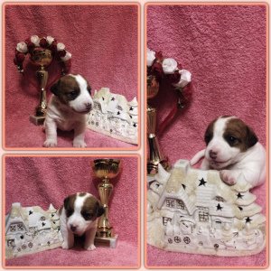 Photo №2 to announcement № 1262 for the sale of jack russell terrier - buy in Russian Federation private announcement