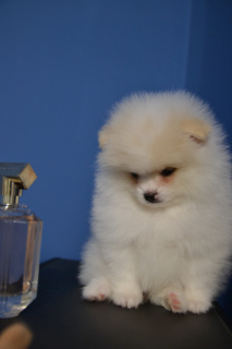 Photo №2 to announcement № 301 for the sale of pomeranian - buy in Belarus private announcement, from nursery, breeder