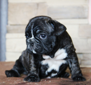 Additional photos: I offer puppies french bulldog