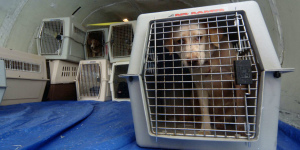 Additional photos: Delivery of dogs of large breeds around the world from a professional breeder