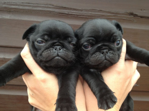 Photo №1. pug - for sale in the city of Minsk | 300$ | Announcement № 453