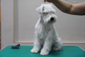 Photo №4. I will sell schnauzer in the city of Novosibirsk. private announcement - price - 392$