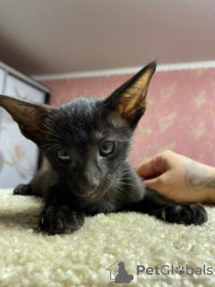 Photo №1. oriental shorthair - for sale in the city of Lipetsk | 204$ | Announcement № 8467