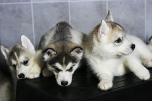 Additional photos: Saint Petersburg. Siberian Husky puppies are offered for sale