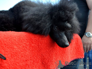 Photo №4. Mating poodle (toy) in Belarus. Announcement № 7903