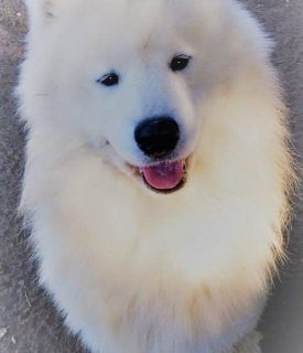 Photo №2 to announcement № 1025 for the sale of samoyed dog - buy in France from nursery, breeder
