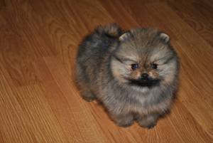 Photo №1. pomeranian - for sale in the city of Vitebsk | 976$ | Announcement № 481