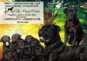 Photo №1. cane corso - for sale in the city of Dnipro | Negotiated | Announcement № 2570