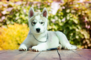 Photo №1. siberian husky - for sale in the city of Tolyatti | 195$ | Announcement № 2563