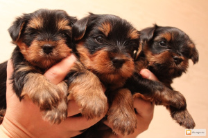Photo №1. yorkshire terrier - for sale in the city of Murghab | 700$ | Announcement № 585