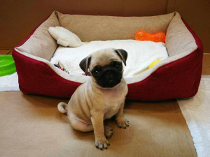 Photo №2 to announcement № 1177 for the sale of pug - buy in Belarus private announcement