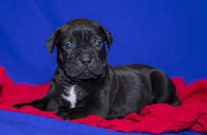 Photo №1. cane corso - for sale in the city of St. Petersburg | Negotiated | Announcement № 1562