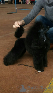 Photo №3. Black toy poodle is looking for a lady to mate in Belarus. Announcement № 7903